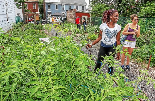 FILE - Laura Washington is the GM (Garden Manager) of the Community Garden in Pottstown. She is shown watering the numerous tomato plants that she helped to grow. Photo by Kevin Hoffman, The Mercury