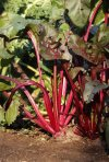 This photo shows beets growing in a garden in New Paltz, New York. No need to rush beet harvest, especially this time of year; just pull, as needed, from the ground. (AP Photo/Lee Reich)