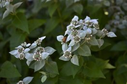 This photo provided by courtesy of Brooklyn Botanic Garden shows clustered mountain-mint (Pycnanthemum muticum) on Brooklyn Botanic garden's Magnolia Plaza, in Brooklyn, New York.  (AP Photo/Brooklyn Botanic Garden, Morrigan McCarthy
