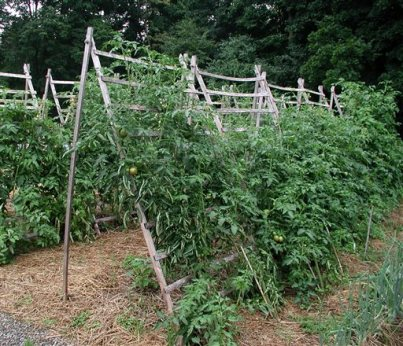 In this Sunday, May 17, 2015 photo, tomatoes are happy to sprawl but getting the plants up off the ground — here, on a trellis — results in cleaner fruit and less hazard for diseases in Poughkeepsie, N.Y. (Lee Reich via AP)