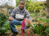 Temiloluwa Salako, a Cultivar with RootDownLA, shows off a grain plant called amaranth that is growing in one of the program's community gardens. Salako was recently accepted to Pitzer College after writing an essay about his experiences with this community food project.