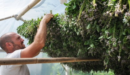 John Strickler - The Mercury The drying process begins as David Ryle hangs bundles of the holy basil clippings.