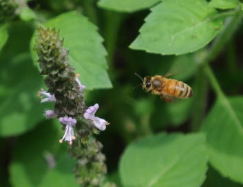 John Strickler - The Mercury A honey bee flies toward the flower of the holy basil plant pollinating the plants.