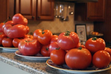 Photo by Emily Ryan for Digital First Media Plates of freshly picked tomatoes line a kitchen countertop.