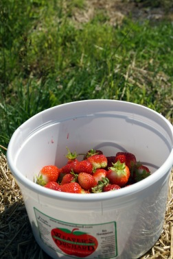 Photo by Emily Ryan A bucket holds freshly picked strawberries from Weaver's Orchard.