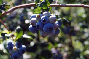 Blueberries are among the many PYO crops at Weaver's Orchard. Photo by Emily Ryan
