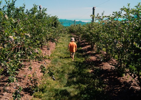 Photo by Emily Ryan A boy walks through rows of blueberry bushes at Weaver's Orchard.