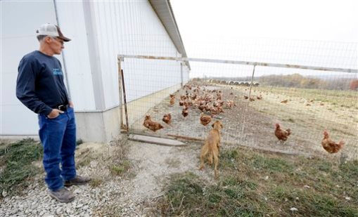 Francis Blake watches his cage-free chickens roam in a fenced pasture on his organic farm, Wednesday, Oct. 21, 2015, near Waukon, Iowa. Blake gathers an average of 2,500 dozen eggs a week from his flock of 5,000 cage-free hens. An increasing customer demand for more eggs from chickens free from cages has left U.S. egg farmers with the question of whether to spend millions of dollars to convert or build cage-free barns. (AP Photo/Charlie Neibergall)