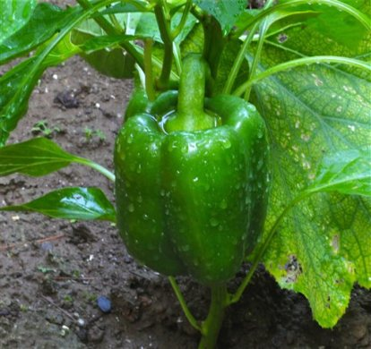 This July 22, 2011 photo shows a green pepper growing in a raised bed garden in New Market, Va, where the ground is saturated using water from a residential well which is generally safer than that taken from streams or ponds. Contaminated water in the garden is a frequent contributor to food-borne illnesses. Use only potable water for your produce. (Dean Fosdick via AP)