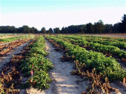 This 2013 photo provided by the J.R. Simplot Co. shows a demonstration field of a new potato, genetically engineered to resist the pathogen that caused the Irish potato famine, at Michigan State University in East Lansing, Mich. In a letter Tuesday, Jan. 12, 2016 to Idaho-based J.R. Simplot Co., the Food and Drug Administration said the potato isn't substantially different in composition or safety from other products already on the market, and it doesn't raise any issues that would require the agency to do more stringent premarket vetting.( J.R. Simplot Co. via AP)