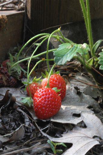 Gardening-Edible Landscaping