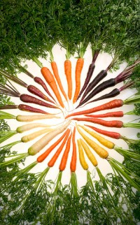Colorful ARS-bred carrots, packed with healthful pigments to punch up their nutrition level. ARS photo by Stephen Ausmus.