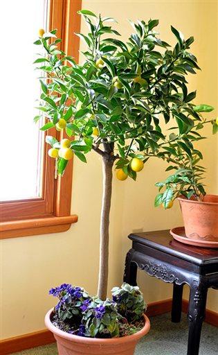 Gardening-Kumquat