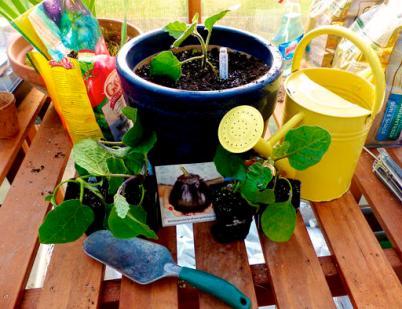 Gardening Eggplant